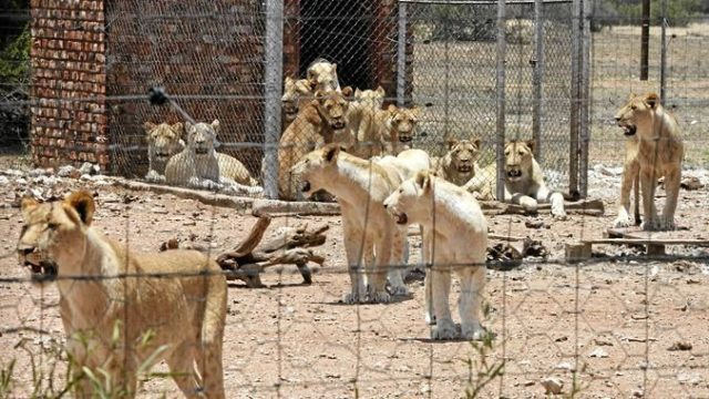 Lions Canned Hunting Africa