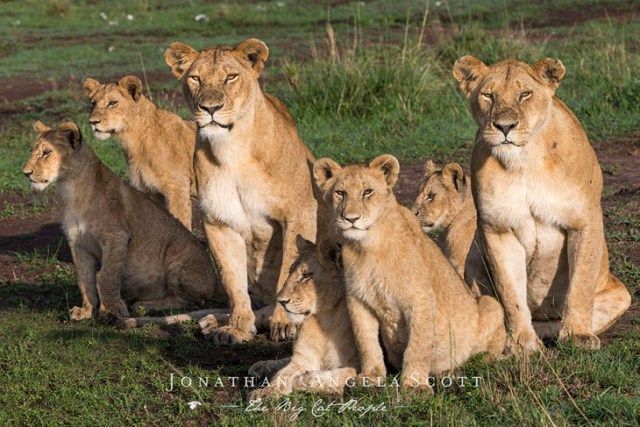 Lionesses from the Marsh Pride