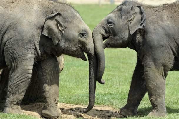 STAE Asian elephants