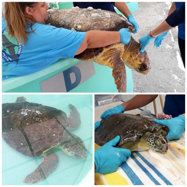 Mote marine turtle hospital