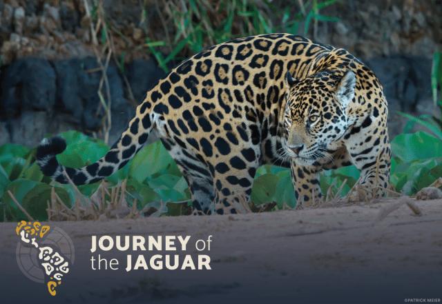 journey of the jaguar