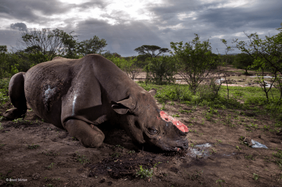 Memorial to a species by Brent Stirton