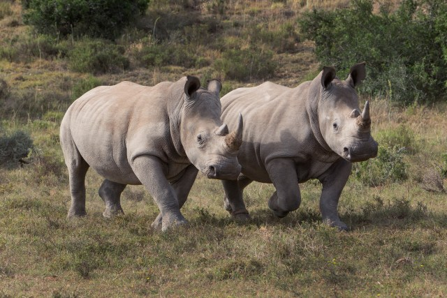white rhinos born free foundations
