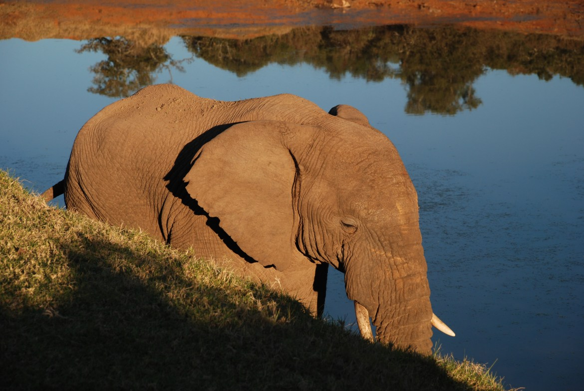 Shamwari elephant by water
