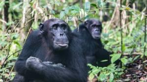 chimpanzees in Tanzania