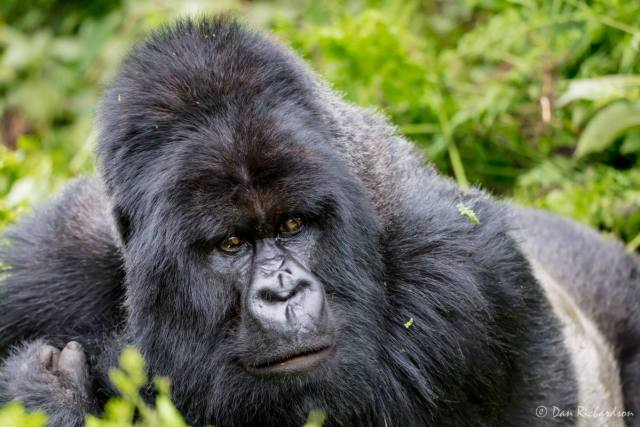 silverback gorilla photo by Dan Richardson