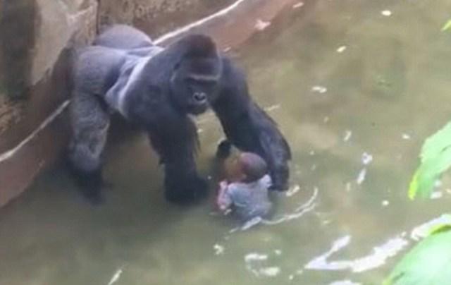 harambe gorilla holds boy