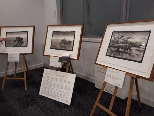 Photographic portraits of the last three northern white rhinos.