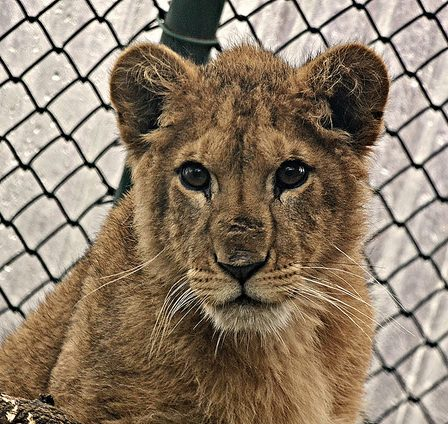 Born free foundation's king the lion cub