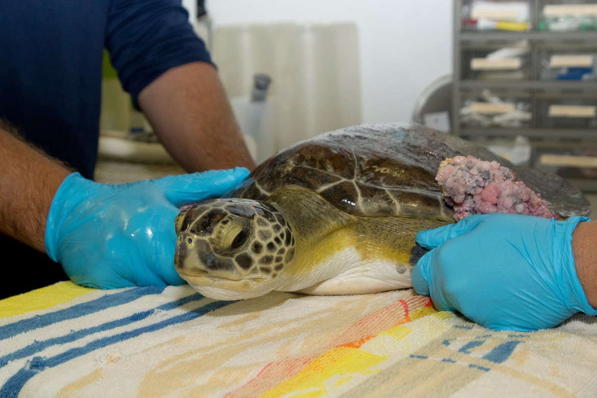 Grace the green turtle gets ready for surgery