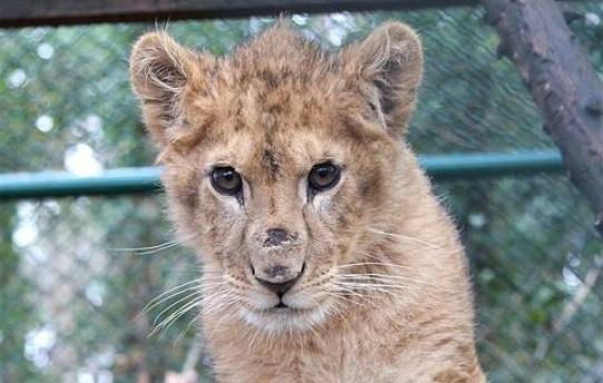 Born free foundation king the lion cub