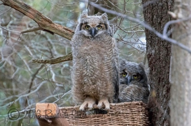 Great horned owlet, Willow - Photo by Cheryl Aguiar