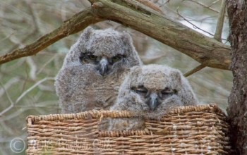 Great horned owlets, Willow and Wisdom - Photo by Cheryl Aguiar