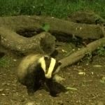 Badger-at-Tewin-Orchard-Hertfordshire