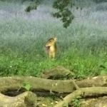 Muntjac-at-Tewin-Orchard-Hertfordshire