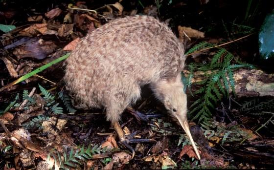 Kiwi bird at night time in new zealand