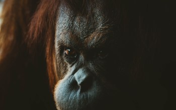 orangutan looks on with a solemn expression