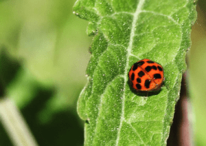 Ladybird on a leaf, photo by Kate on Conservation