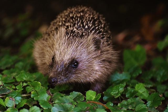 Garden-hedgehog