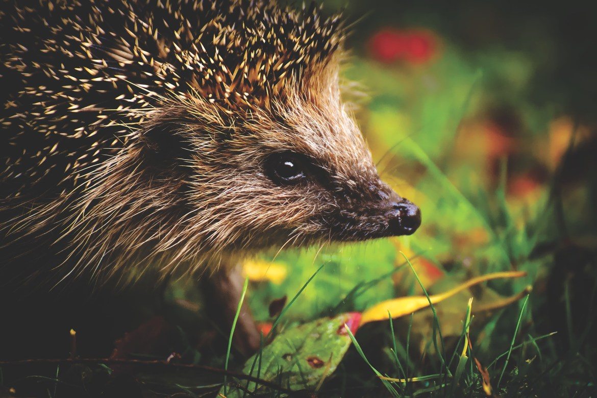 Helping Hedgehogs in your Garden this Winter: Guest post by NatureSpy