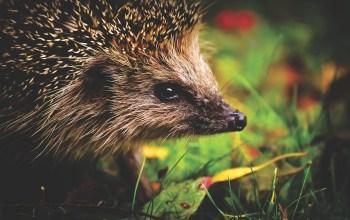 hedgehog-child-close up