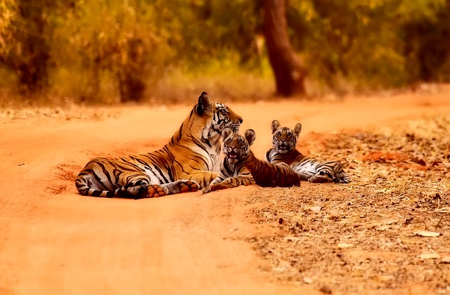 india tiger and tiger cubs