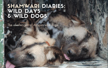 Shamwari diaries week 3 wild days and wild dog title card