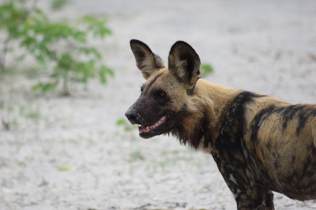 lone African wild dog looks out