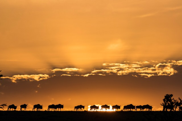 Wildebeest crossing the plains of the Maasai Mara at sunset