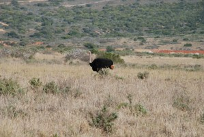 ostrich-on-shamwari-game-reserve