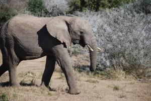 young elephant calf walks along in Shamwari Game Reserve