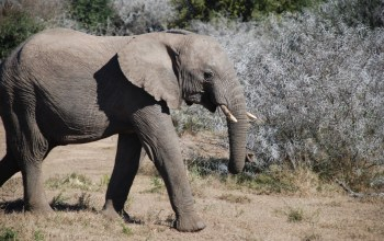 young elephant calf walks along in Shamwari Game Reserve