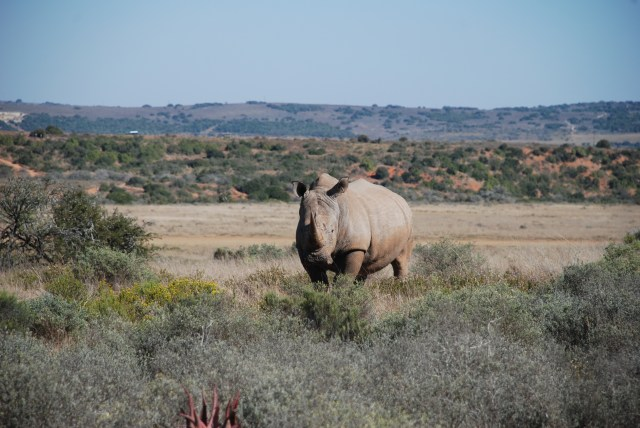 rhino-on-shamwari-game-reserve-south-africa