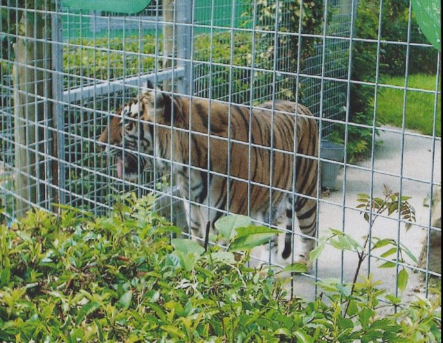 A zoo tiger paces in captivity, behind a mesh of bars