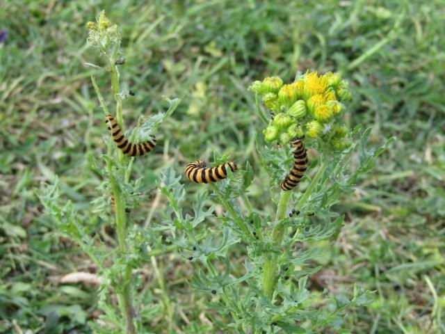 Bug Safari Cinnabar moth caterpillar