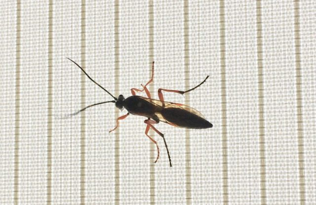 Bug Safari Pimpla rufipes the black slip wasp