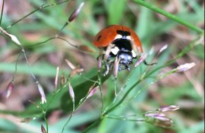 Bug Safari lady bird