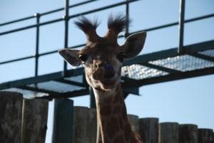 Melvin-the-giraffe-at-shamwari