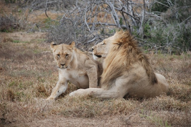 Lion-pride-at-Amakhala-Game-Reserve-South-Africa