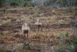 two-warthogs-at-shamwari-game-reserve