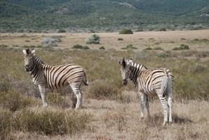 two-zebras-at-shamwari-game-reserve