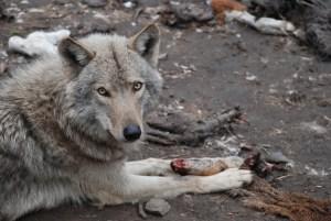 A-wolf-feeding-at-tsitsikamma-wolf-sanctuary