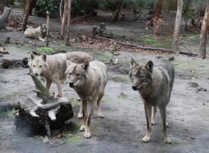 A-Wolf-pack-at-Tsitsikamma-wolf-sanctuary