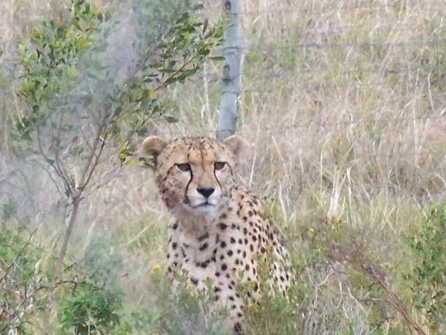 cheetah-in-a-boma-shamwari
