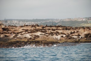 seals-on-the-island-at-mossel-bay