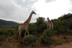 stormy-skies-over-giraffes-in-shamwari