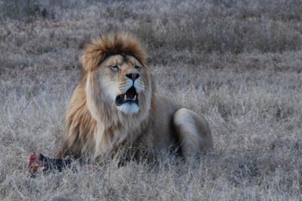 Brutus the lion at shamwari game reserve