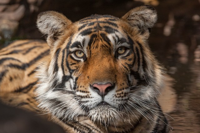 2019 good year for animal conservation - tiger image courtesy born free