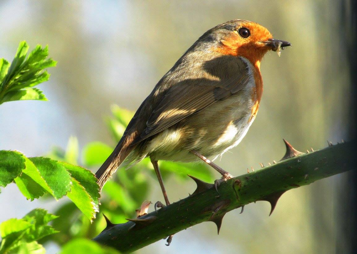 A-robin-eating-grub-in-the-garden