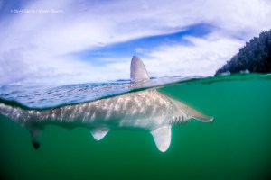 Scalloped-hammerhead-sharks-at-water-surface